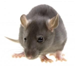 rats Rats!
