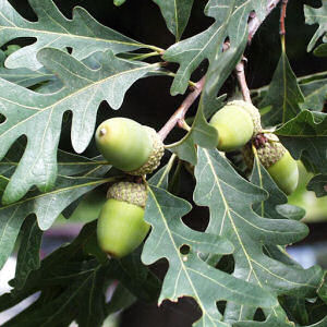 white oak Acorns!