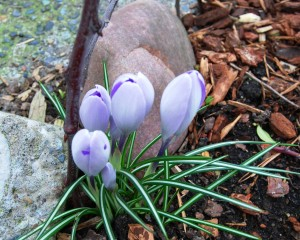 I like to plant when the crocuses are blooming.