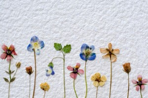 dried flowers on white 300x199 Pressed Flowers