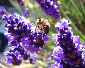 lavender with bee 300x239 Edible Flowers