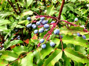 image114 300x225 Oregon Grape Jam