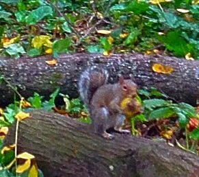 Squirrels love the nuts.