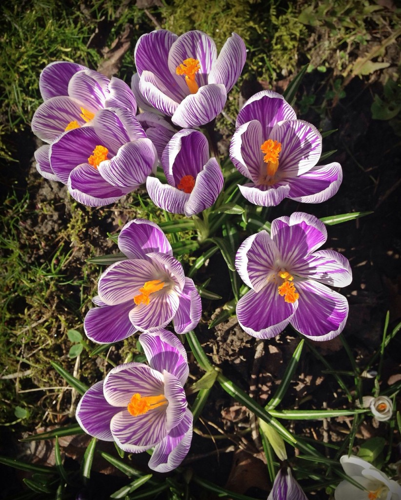 Crocuses are up and blooming like mad.