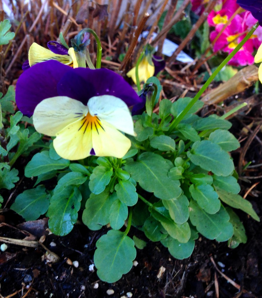 These pansies always make me think of spring.