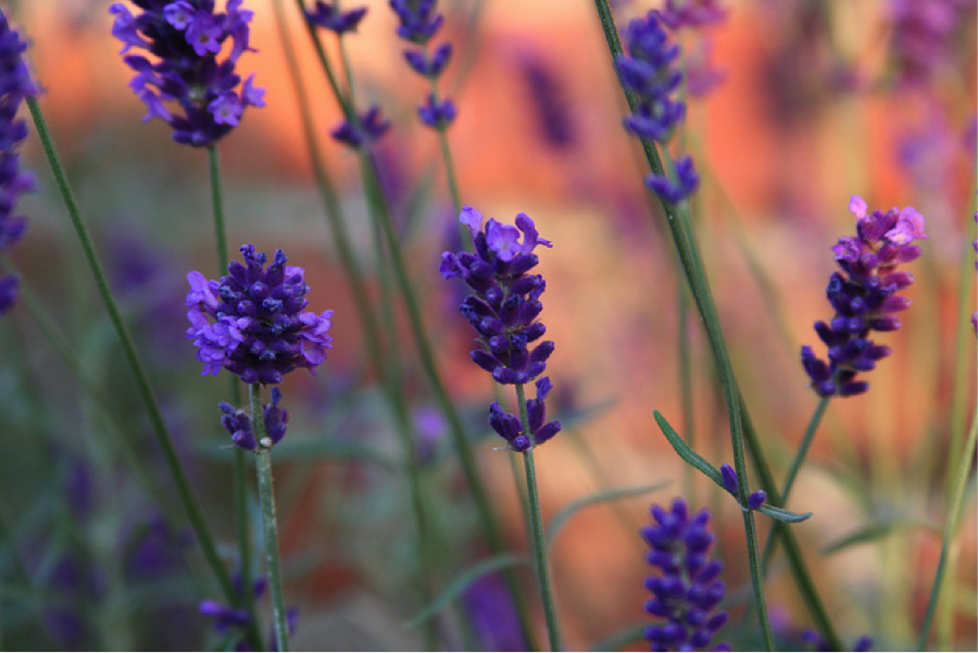 lavender Spa Treatments from Your Own Herb Garden
