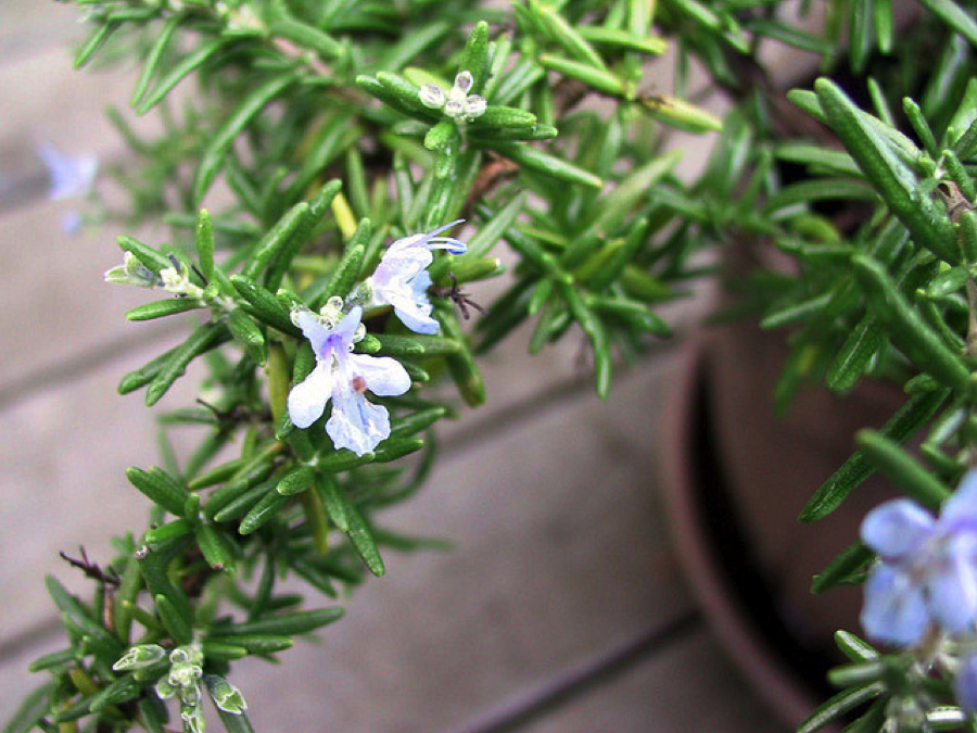 rosemary Spa Treatments from Your Own Herb Garden
