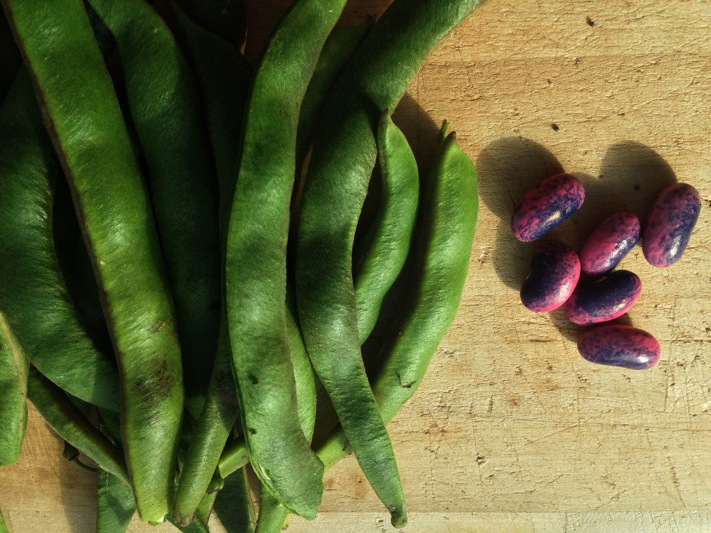Pick your beans while they are still soft.  These are scarlet runners.