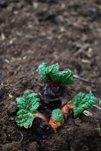 Rhubarb pushing up through the soil.