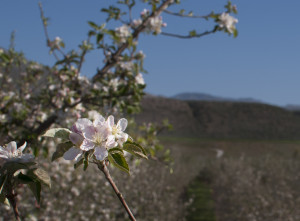 The apple, pear and cherry orchards near Omak are in full bloom.