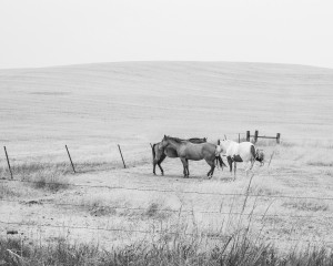 Horses on the Palouse.