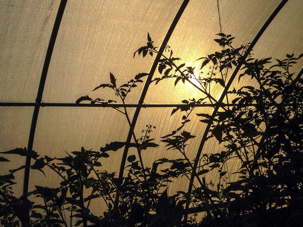 Sunrise in the hoop house.